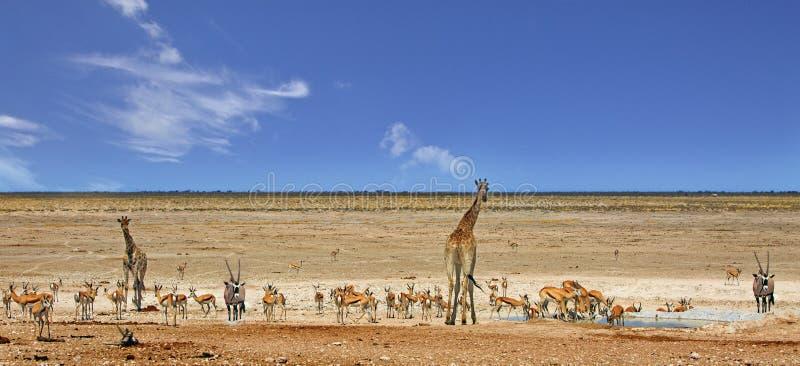 Panorama of a busy waterhole in Etosha National Park. Panoramic view of giraffes, Impala, Gemsbok Oryx at a very busy waterhole in Etosha National Park, Namibia stock images