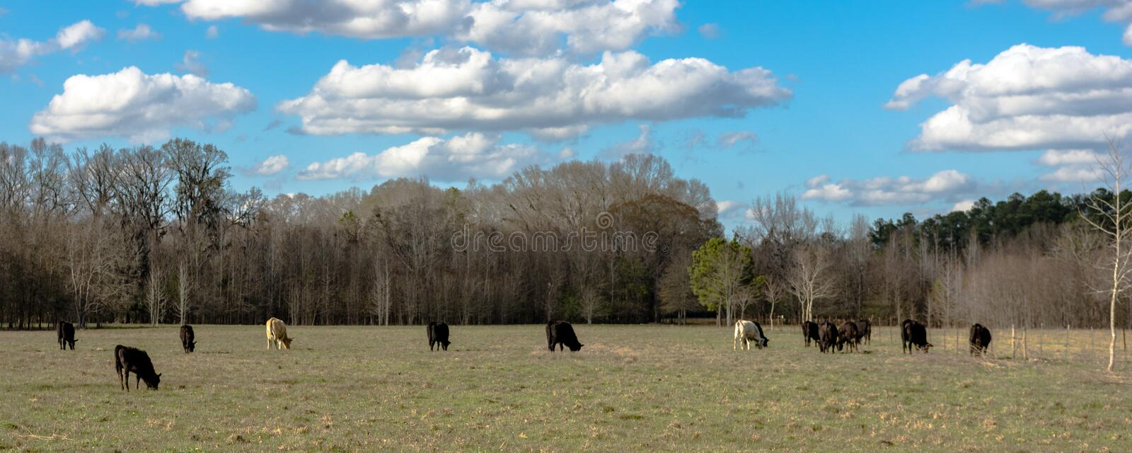 Panorama of cattle on early spring pasture. Panoramic view of beef cattle grazing on an early spring pasture with bare trees in the background and blue skies royalty free stock photography