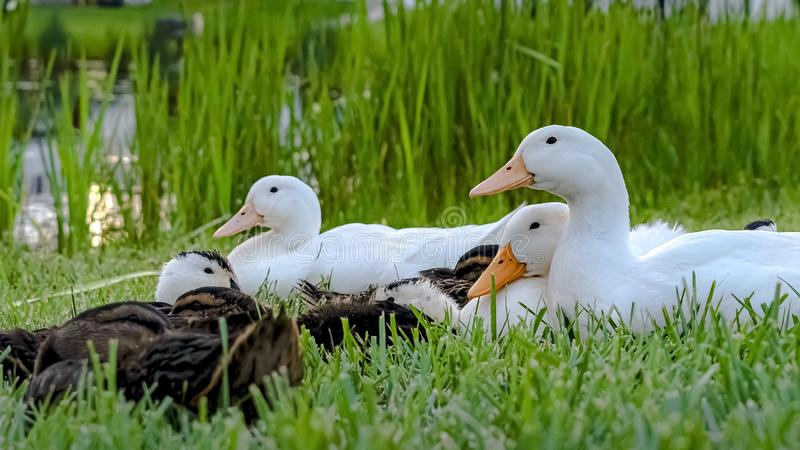 Panorama Close up of white ducks and brown ducklings on grassy terrain near a pond. Multi-storey homes with balconies and fences against cloudy sky can be seen royalty free stock image