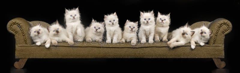 Panorama collage of Ragdoll kittens royalty free stock photos