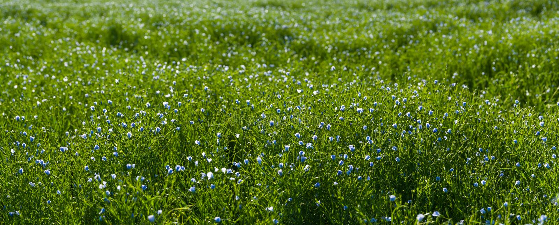Panorama com o prado de flores do linho fotografia de stock royalty free
