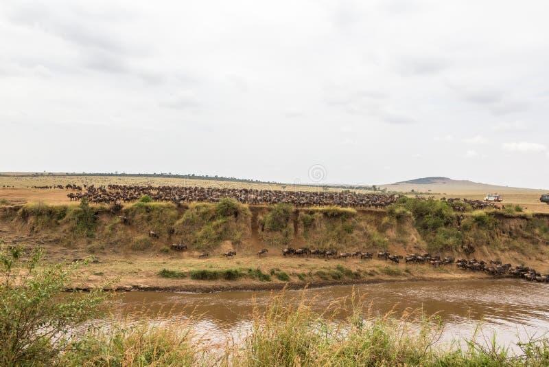 Panorama con las manadas grandes del ñu Mara River, Kenia fotografía de archivo