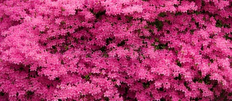 Panorama cor-de-rosa das azáleas imagem de stock royalty free