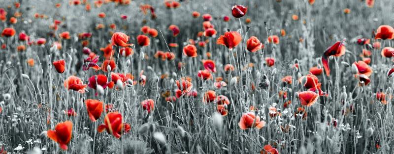 Panorama czerwoni maczki i błękitni cornflowers obraz stock