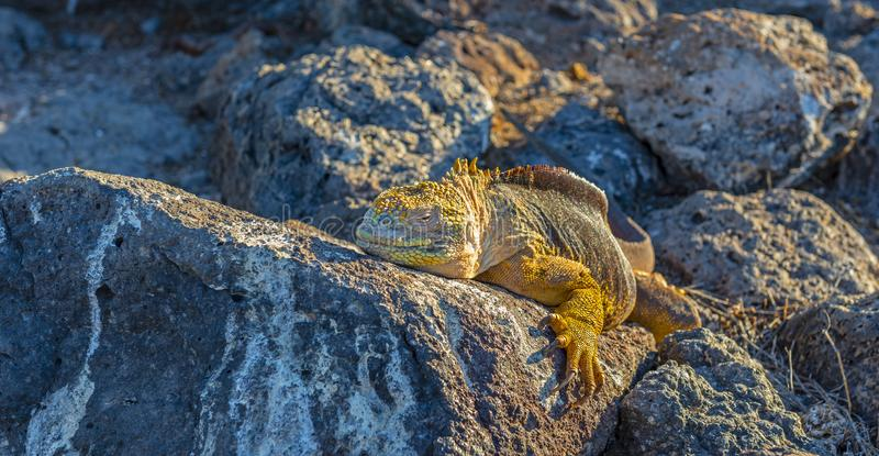 Panorama d'iguane de terre de Galapagos, Equateur image libre de droits