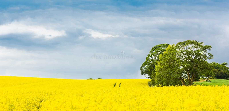 Panorama d'un gisement jaune de floraison de graine de colza et d'un arbre vert image libre de droits