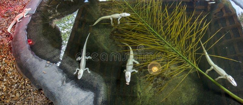 Panorama d'un groupe de bébé Albino American Alligators photographie stock