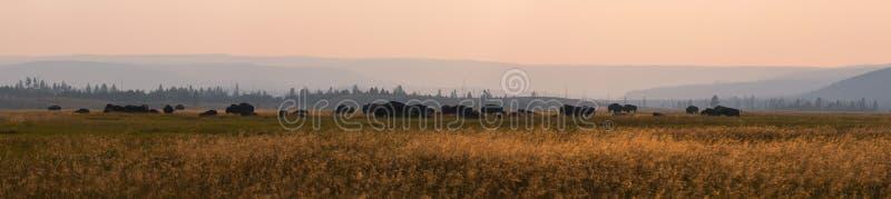 Panorama d'un troupeau de bison américain photographie stock libre de droits