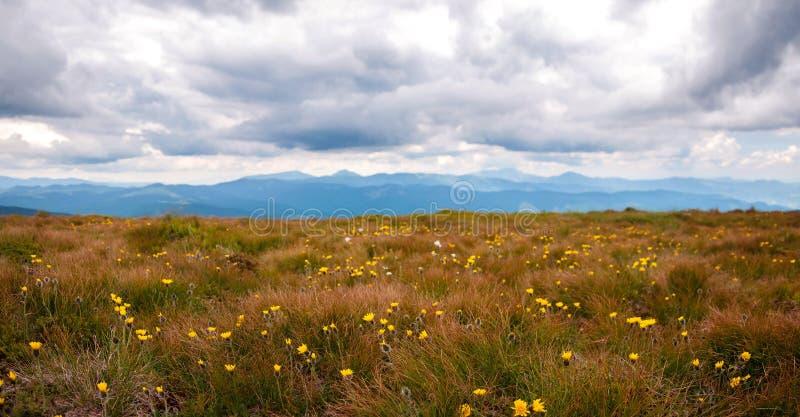 Panorama da clareira de flores amarelas na perspectiva das montanhas Grama alaranjada queimada no fundo das montanhas fotografia de stock