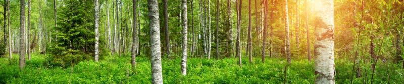 Panorama da floresta do pinho imagem de stock royalty free