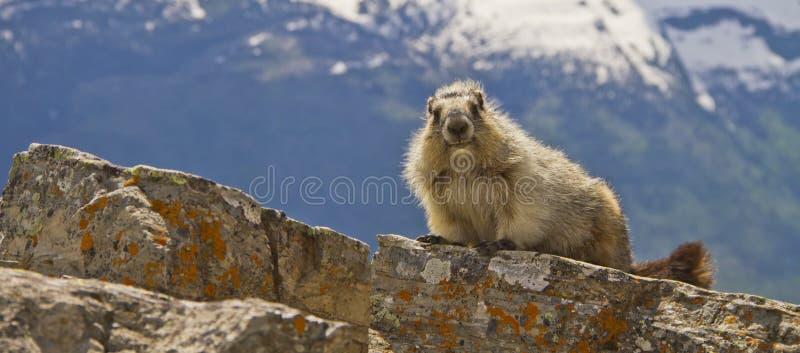 Panorama da marmota, parque nacional de geleira, Montana EUA imagem de stock royalty free