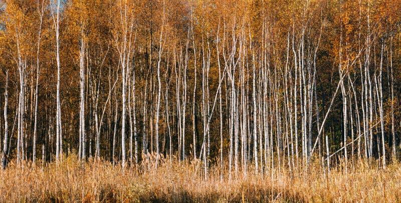 Panorama de belle forêt de bouleau dans la saison d'automne photographie stock libre de droits