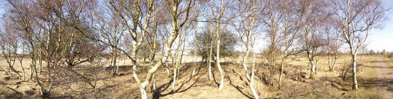 Panorama de bomen de Berken d'arbres de bouleau photographie stock