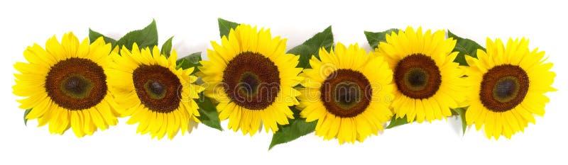 Panorama de fleur de tournesol avec des feuilles photographie stock libre de droits