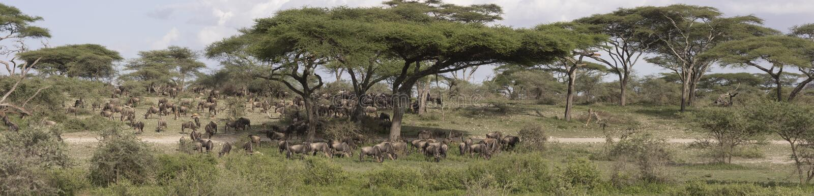Panorama de grande migration de gnou, Serengeti photo libre de droits