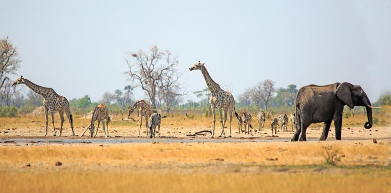 Panorama de la jirafa, de la cebra y del elefante bebiendo de un mesón del waterhole el calor del día en el parque nacional de Hw fotos de archivo