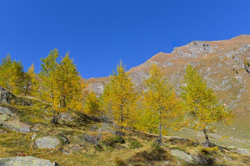 panorama de la montaña, con los abetos y los alerces amarillos y verdes fotografía de archivo