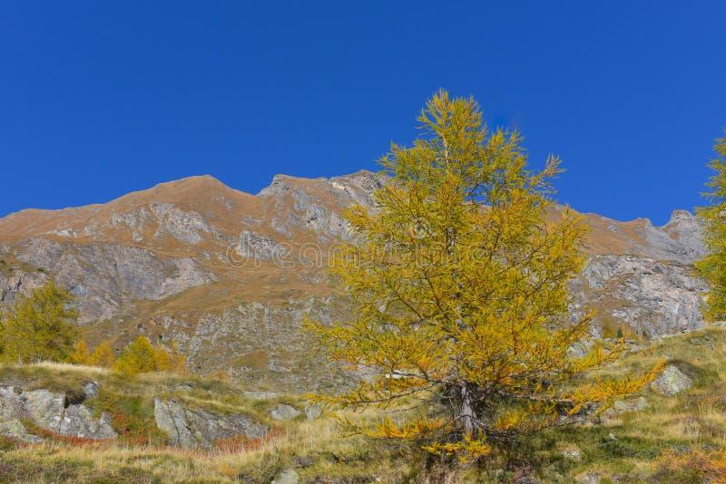 panorama de la montaña, con los abetos y los alerces amarillos y verdes imagen de archivo