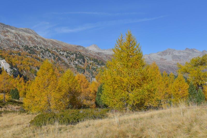 Panorama de la montaña, en octubre, con los alerces y los pinos fotografía de archivo libre de regalías