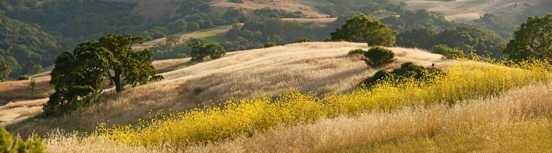 Panorama de las colinas y de la mostaza de oro de California imágenes de archivo libres de regalías