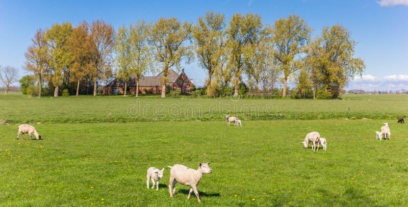 Panorama de las ovejas blancas y de la granja cerca de Groninga imágenes de archivo libres de regalías