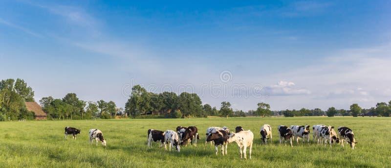 Panorama de las vacas blancos y negros de Holstein en Groninga foto de archivo libre de regalías