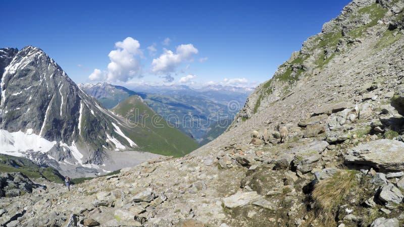 Panorama de los animales de la cabra de montaña de la gamuza en la roca del macizo de Mont Blanc fotografía de archivo libre de regalías