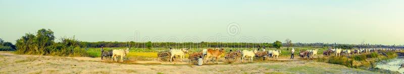 Panorama de los carros del buey y de los campos del loto en el Kampong rural Tralach Camboya foto de archivo