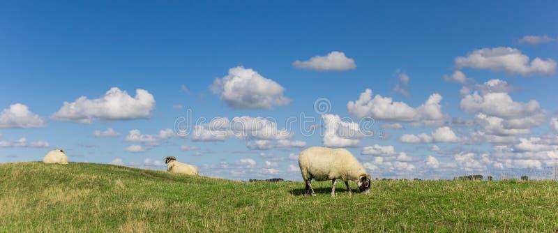 Panorama de ovejas blancas holandesas cerca de Groninga imagen de archivo libre de regalías