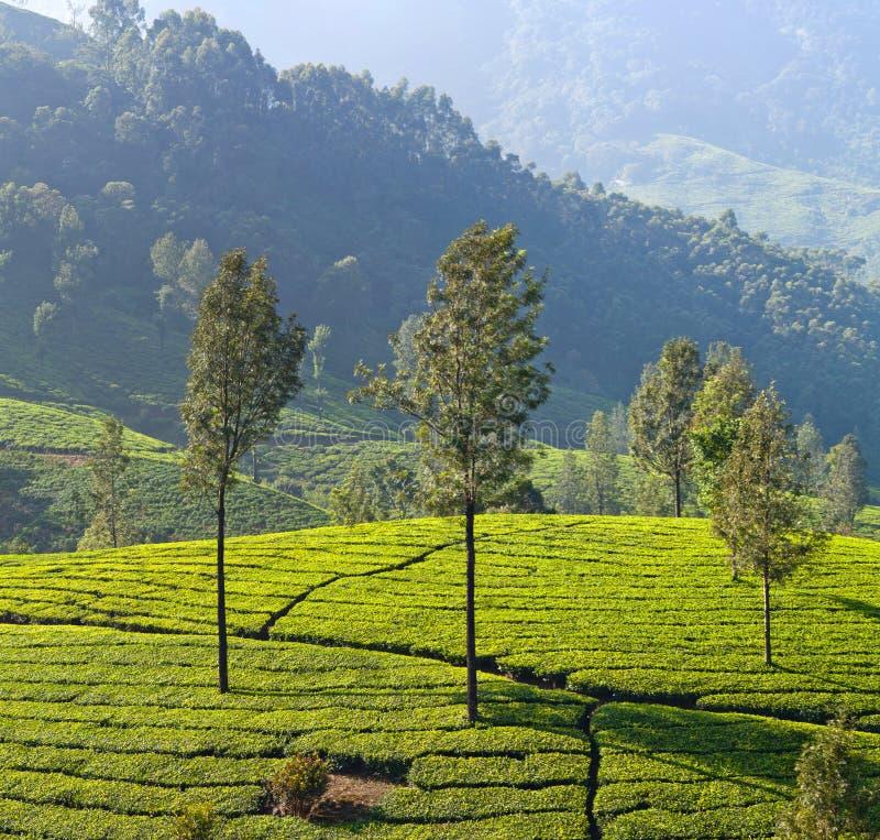 Panorama de plantation de thé dans Munnar, Kerala, Inde image libre de droits