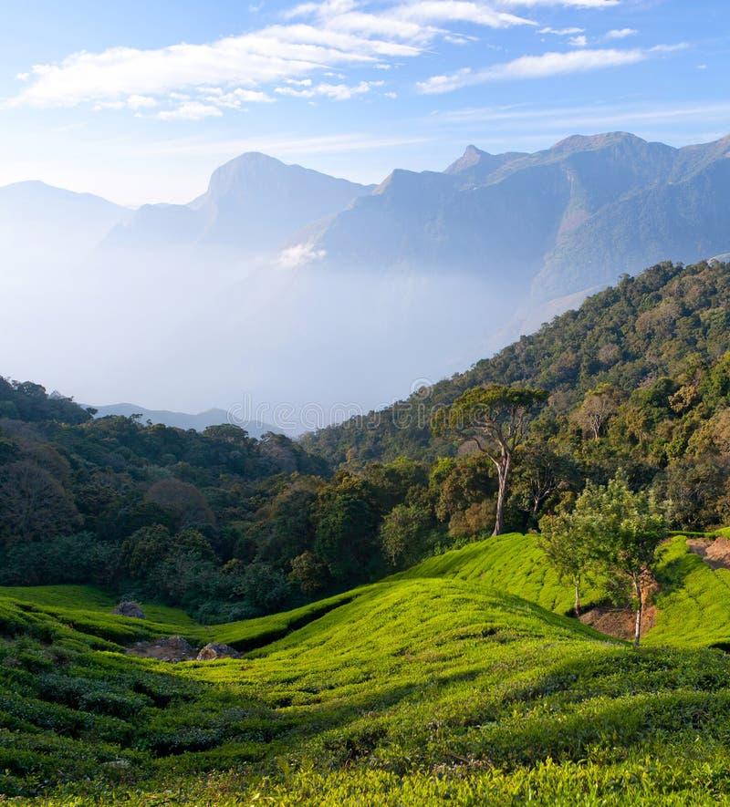 Panorama de plantation de thé dans Munnar, Kerala, Inde image stock