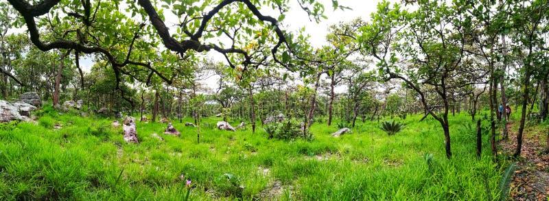 Panorama de prairie ou de pré de verdure dans la forêt de verger pendant la saison des pluies image libre de droits