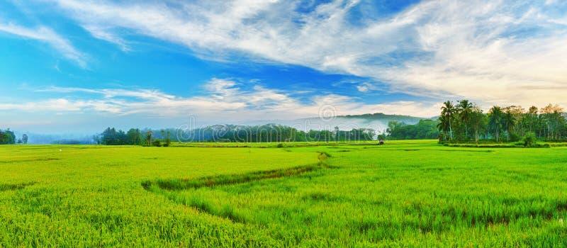Panorama de riz non-décortiqué photos libres de droits