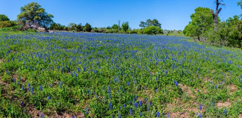 Panorama de surpreender Texas Bluebonnets imagens de stock