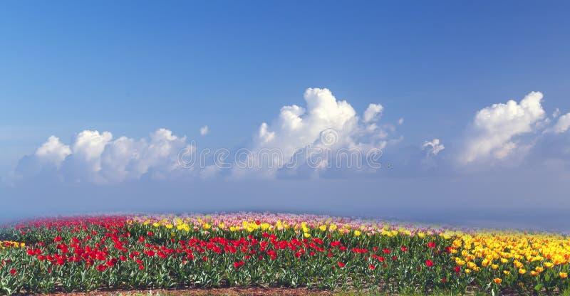 Panorama de um campo das tulipas imagem de stock
