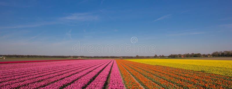 Panorama de um campo das tulipas em cor-de-rosa, da laranja e do amarelo imagem de stock