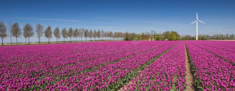 Panorama de um campo de tulipas roxas e de uma turbina eólica fotografia de stock
