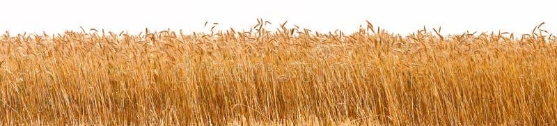 Panorama de uma colheita do trigo imagem de stock royalty free