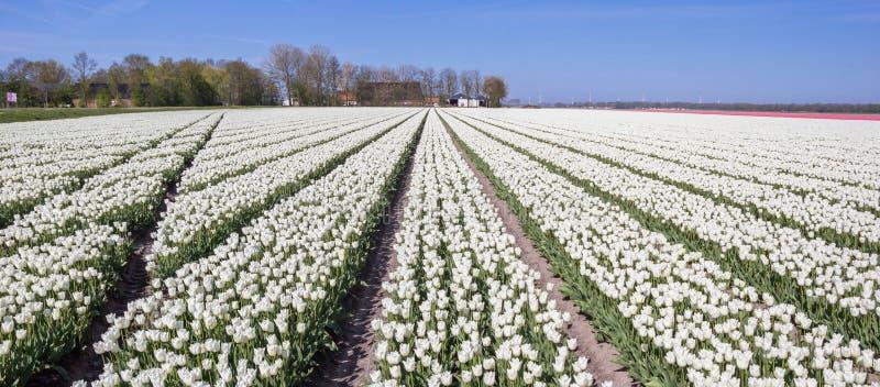 Panorama de un campo de los tulipanes blancos imágenes de archivo libres de regalías