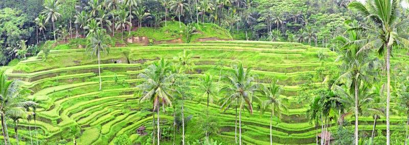 Panorama dei terrazzi del giacimento del riso di Tegalalang, Bali fotografia stock