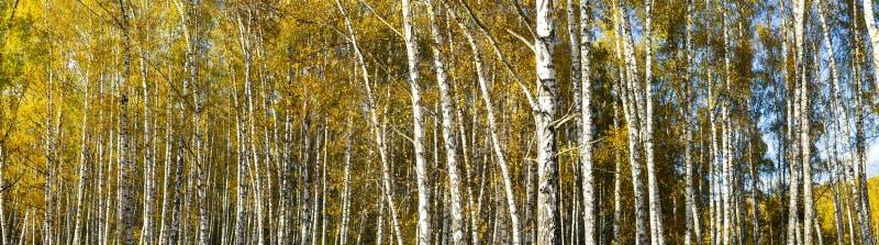 Panorama del bosque del abedul del otoño fotografía de archivo
