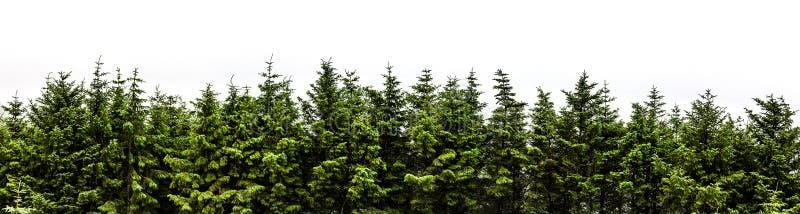 Panorama del bosque del abeto aislado en el fondo blanco fotos de archivo
