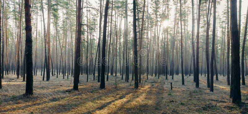 Panorama del bosque de la mañana fotografía de archivo