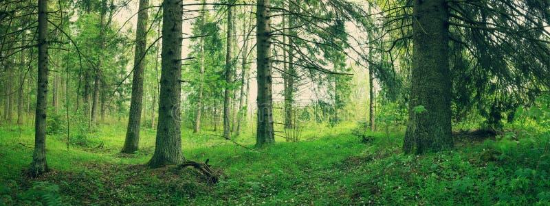 Panorama del bosque del pino y del abeto fotos de archivo