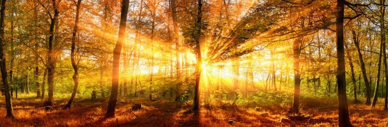 Panorama del bosque del otoño con los rayos de sol vivos del oro imagenes de archivo