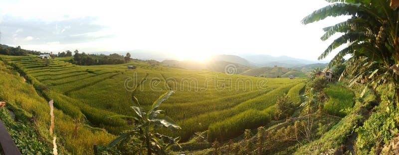 panorama del campo del arroz del paso imagen de archivo