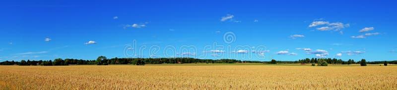 Panorama del campo de trigo foto de archivo