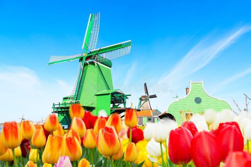 Panorama del fondo dell'Olanda con i tulipani ed il mulino a vento verde in villaggio tradizionale in Olanda fotografie stock libere da diritti