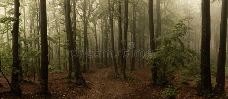 Panorama del legno di sguardo spettrale di fiaba nebbiosa della foresta dentro di mattina fotografia stock
