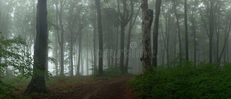 Panorama del legno di sguardo spettrale di fiaba nebbiosa della foresta dentro di mattina fotografia stock libera da diritti